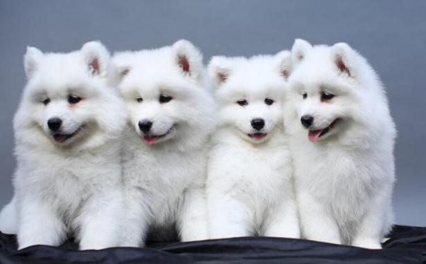 如果喜欢中大型犬,为什么不选择养一只萨摩耶呢6
