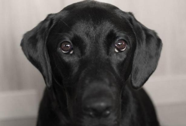 为什么大家宁愿养拉布拉多猎犬也不愿意养边境牧羊犬呢6