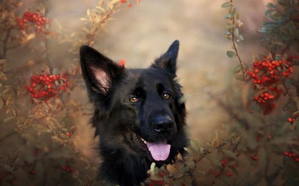 很多人都不知道原来养德国牧羊犬有这么多好处5