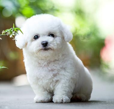 比熊幼犬找新家 纯种比熊幼犬棉花糖宝宝