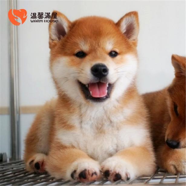 纯种柴犬表情包幼犬小狗 希望能够找到喜欢它们的主人