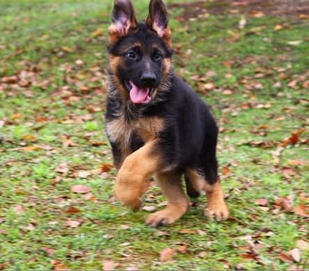 纯种德国牧羊犬幼犬小狗出售德牧黑背宠物血统