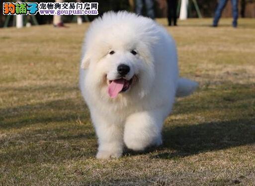 纯种大白熊幼犬找新家、 希望能够找到喜欢他的主人