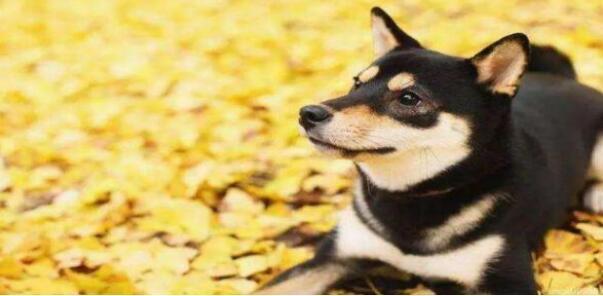 笑眯眯望着你的柴犬,要不要养一只呢?6