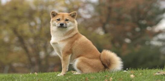 了解柴犬的一些特点再最终决定是否购买,这对你有好处5