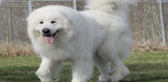 憨憨的大白熊不停地打嗝,这是什么原因导致的呢?7