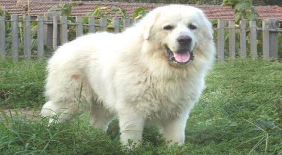 大白熊犬该如何来喂养呢?是不是喂它挺难的?5