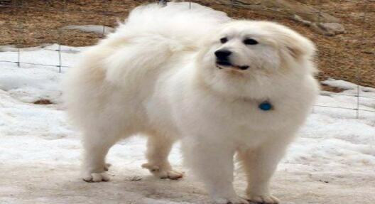 你家的大白熊犬打嗝吗,打嗝停不下来怎么办呢?7