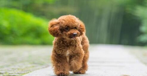 萌萌的小泰迪其实是一只猎犬呢,真的好神奇呀7
