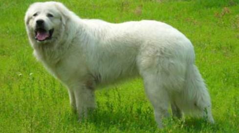有一颗善良之心的大白熊犬也挺让人闹心的7