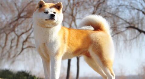 想养秋田犬的人都看过来了,这真的是一只好狗狗7