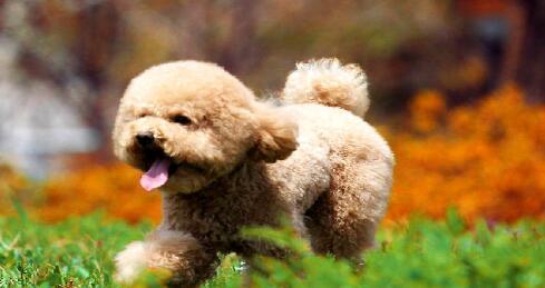 萌萌的小泰迪其实是一只猎犬呢,真的好神奇呀6