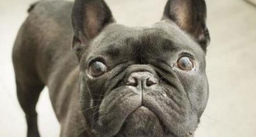 喜欢长得很酷的狗狗,就养一只英国斗牛犬吧5