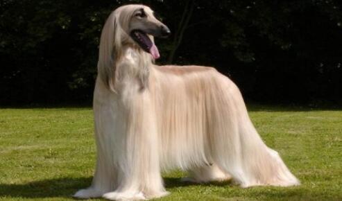 """阿富汗猎犬被称为""""狗中贵族""""是有原因的,来看看吧5"""