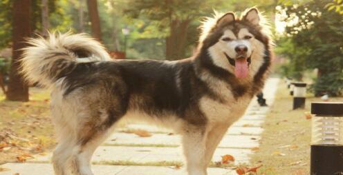 如何养好从北极走来的阿拉斯加雪橇犬呢6