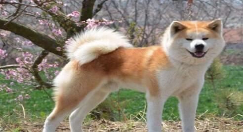 科学喂养秋田犬的方法,来学习一下吧6