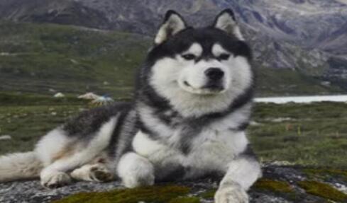 阿拉斯加犬最近几天总是咳嗽,来看看原因吧6