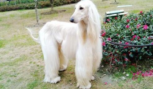 """阿富汗猎犬被称为""""狗中贵族""""是有原因的,来看看吧7"""