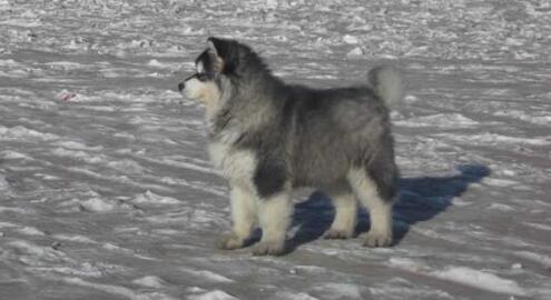 如何养好从北极走来的阿拉斯加雪橇犬呢7
