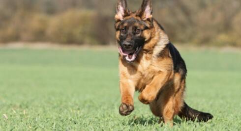 世界犬类之王---德国牧羊犬值得拥有6
