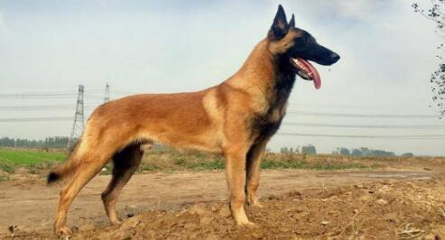 世界犬类之王---德国牧羊犬值得拥有7