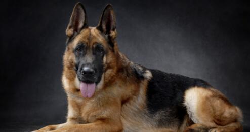 世界犬类之王---德国牧羊犬值得拥有5