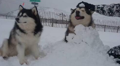 好喜欢阿拉斯加雪橇犬,得花多少钱才能入手一只呢7
