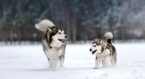 好喜欢阿拉斯加雪橇犬,得花多少钱才能入手一只呢6