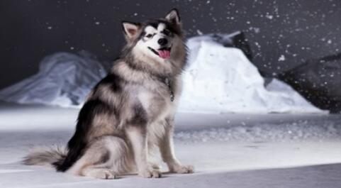 别看阿拉斯加雪橇犬块头那么大,想养好它也是有讲究的5