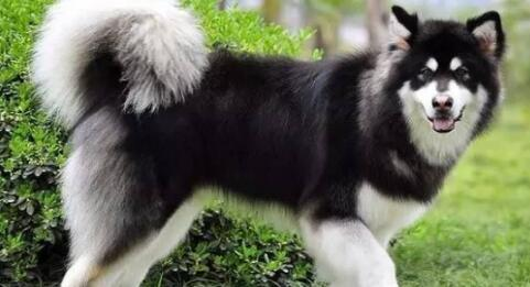别看阿拉斯加雪橇犬块头那么大,想养好它也是有讲究的7