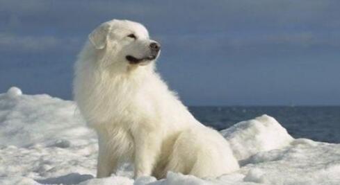 什么原因导致大白熊犬不停地打嗝呢?来看看吧7