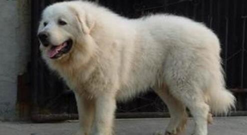 什么原因导致大白熊犬不停地打嗝呢?来看看吧5