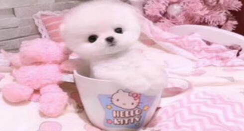 看了就让人心生怜惜的茶杯犬该如何来养呢5