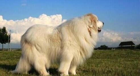 什么原因导致大白熊犬不停地打嗝呢?来看看吧6