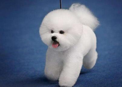 比熊犬价格多少钱一只,比熊犬掉毛怎么改善?7
