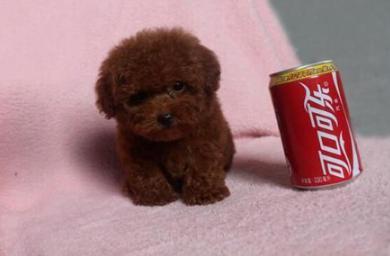 奶萌可爱的茶杯犬,在饲养上需要注意哪些问题呢?7