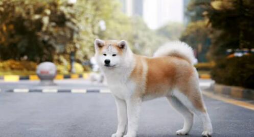 原来秋田犬这么多优点,难怪这么多人喜欢!7