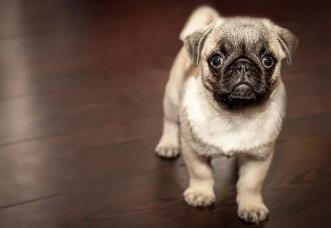 原来巴哥犬优点这么多,难怪好多人喜欢养7