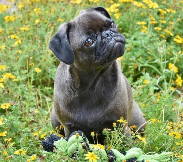 原来巴哥犬优点这么多,难怪好多人喜欢养5