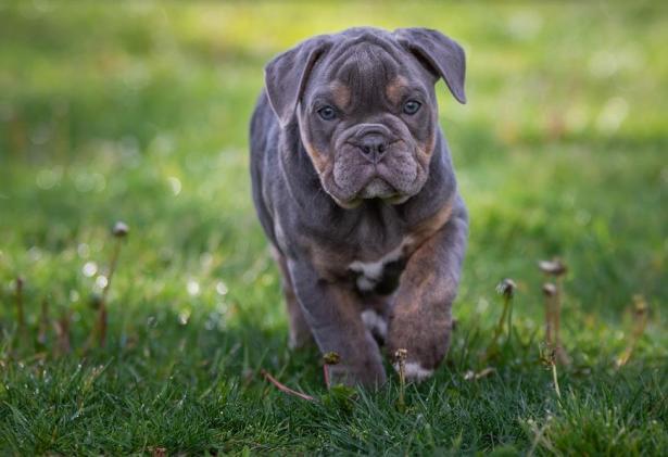 怎样挑选到一只健康的英国斗牛犬,教你5招5