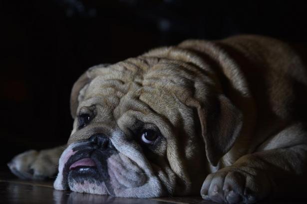 狗狗也要美美哒,怎样给英国斗牛犬穿衣服呢?7