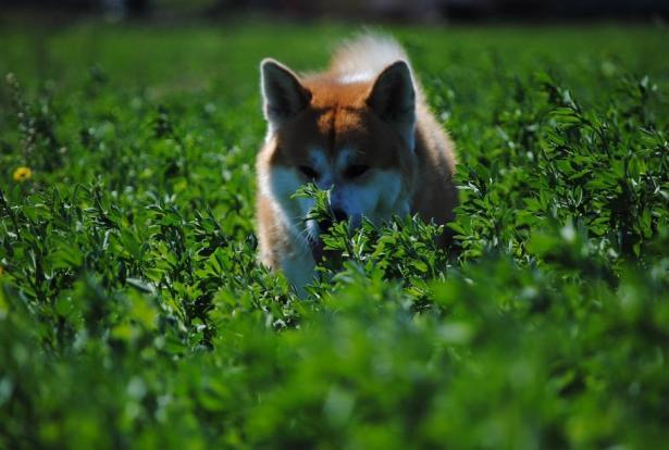 关于秋田犬的挑选方法,快来了解一下吧7
