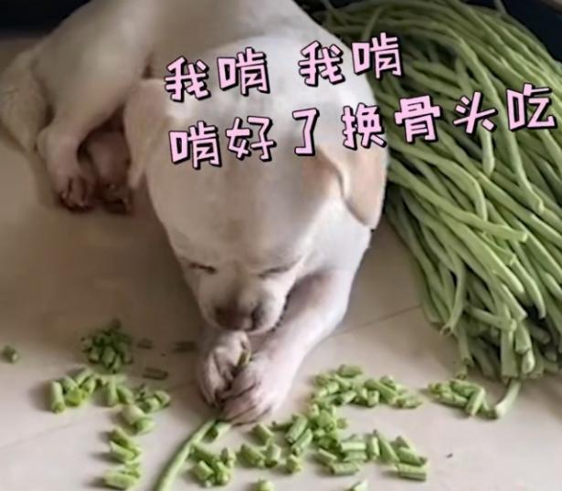 狗子用嘴帮主人择豆角,网友:啥时候开饭就看你的了7