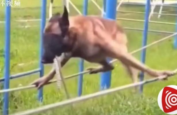 警犬考试有多难?狗狗蒙眼空中走绳索,太勇敢了5