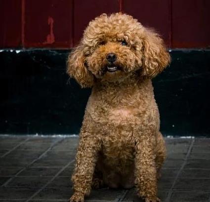 如何判断泰迪犬是否优秀呢?下面教你几个挑选技巧5