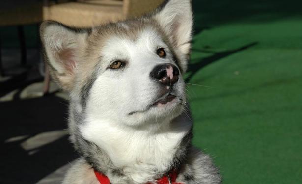怎样才能克服阿拉斯加犬的恐惧心理呢6