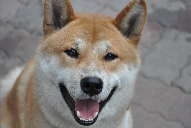 初次养柴犬,应该做好哪些准备呢5