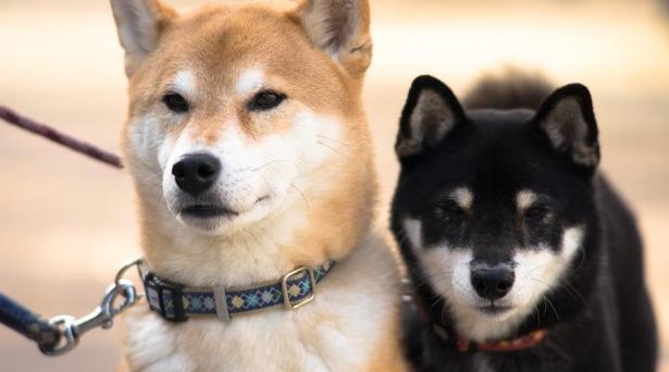 初次养柴犬,应该做好哪些准备呢7