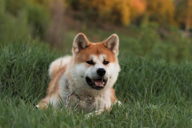 初次养柴犬,应该做好哪些准备呢6