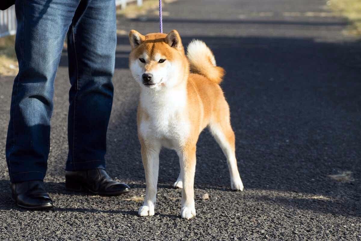 cku认证犬舍出售赛级日本柴。秋田幼犬欢迎前来选购